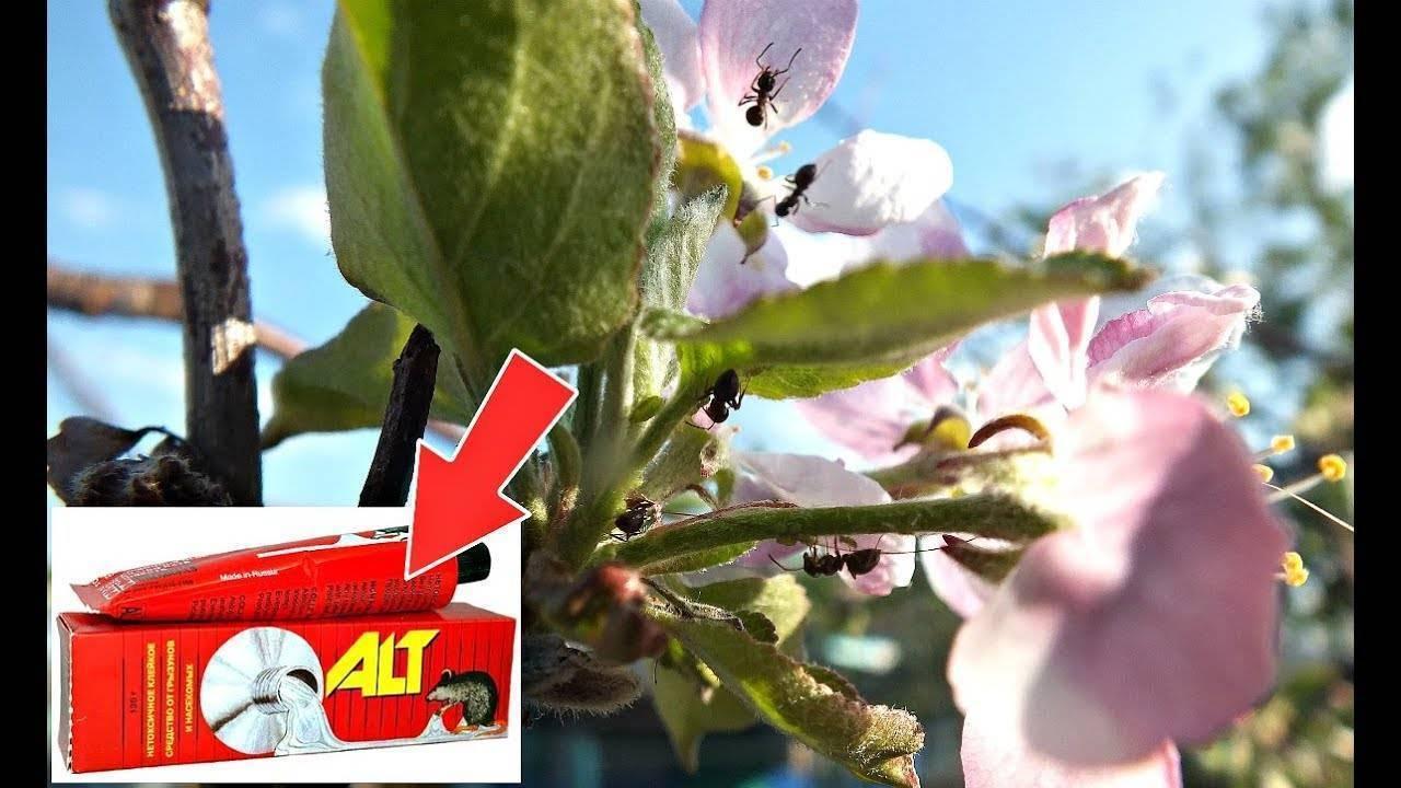 Какими химическими и народными средствами опрыскать яблоню, чтобы избавиться от муравьев