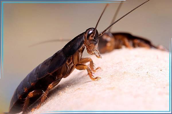 Особенности и нюансы профессиональной дезинсекции от тараканов