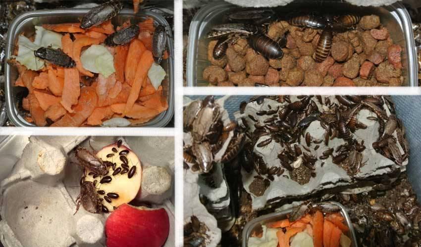 Содержание и разведение мраморных тараканов
