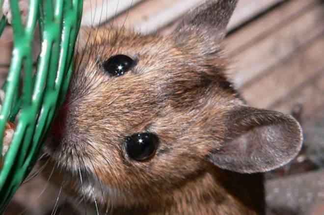 Мышь: обзор видов, питание и быт, способ жизни мышей (93 фото)