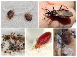 Описание и особенности строения клопов: среда обитания, питание и размножение, наносимый вред
