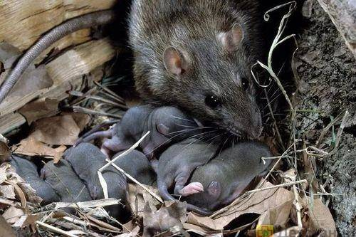 Крыса вылезла из унитаза что делать. крысы в унитазе как бороться и что делать? как избавиться от крысы в унитазе