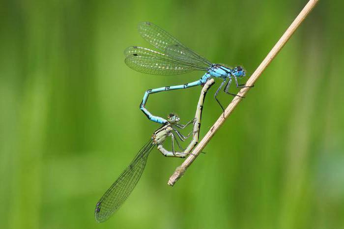 Краткая эколого-биологическая характеристика стрекоз