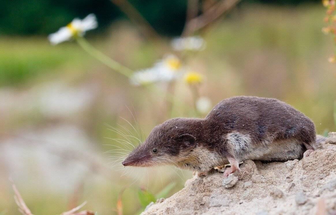 Домашняя мышь — описание, виды, чем питается