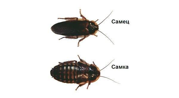 Как быстро размножаются тараканы. размножение и жизненный цикл домашних тараканов. отличие самца от самки