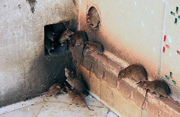 Чего боятся крысы и мыши в доме — народные и промышленные средства борьбы с грызунами