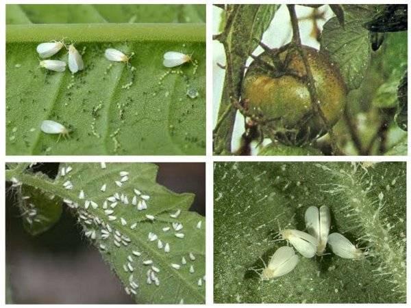 Разновидности вредителей, повреждающих корни и наземную часть томатов