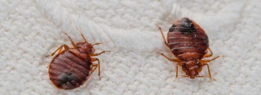 Как использовать полынь от клопов и насекомых