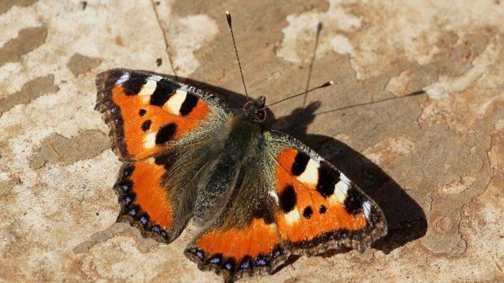 Как зимуют бабочка крапивница