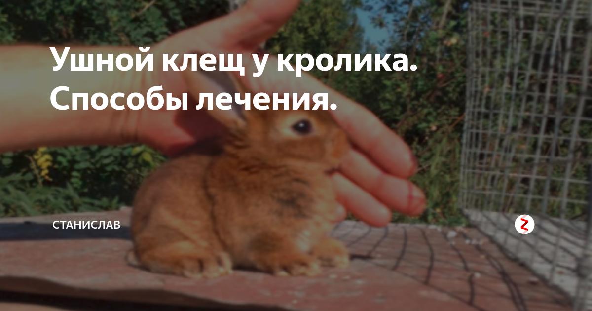 Лечение псороптоза или ушного клеща у кроликов