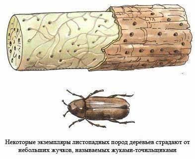 Как обнаружить жука-точильщика в деревянном доме, признаки и способы избавления