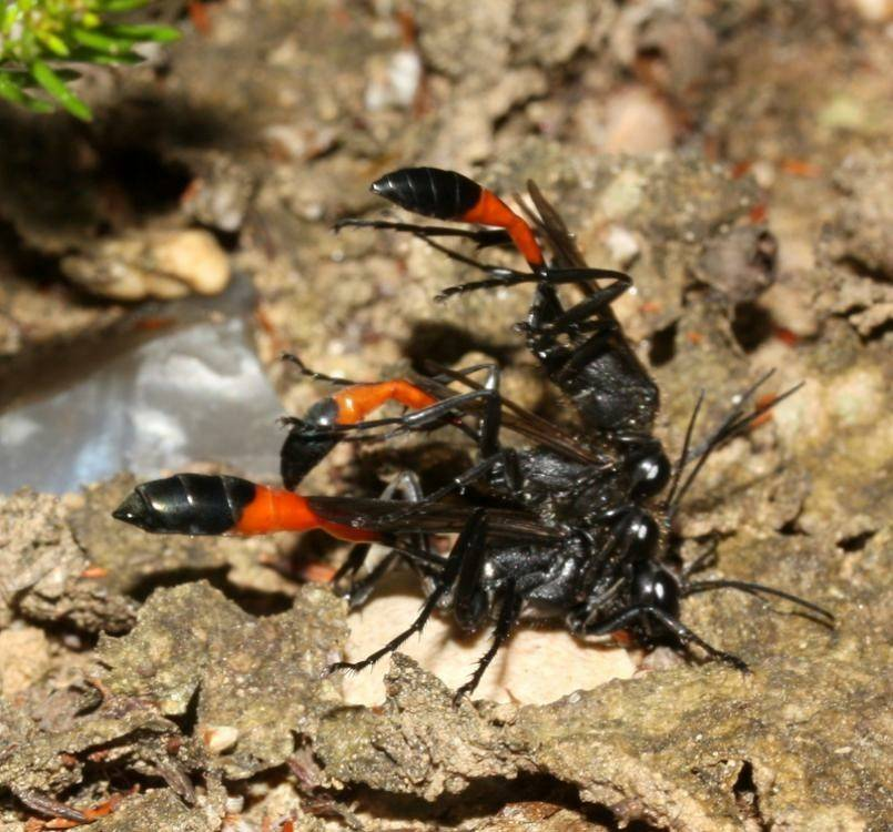 Паразиты осы наездницы