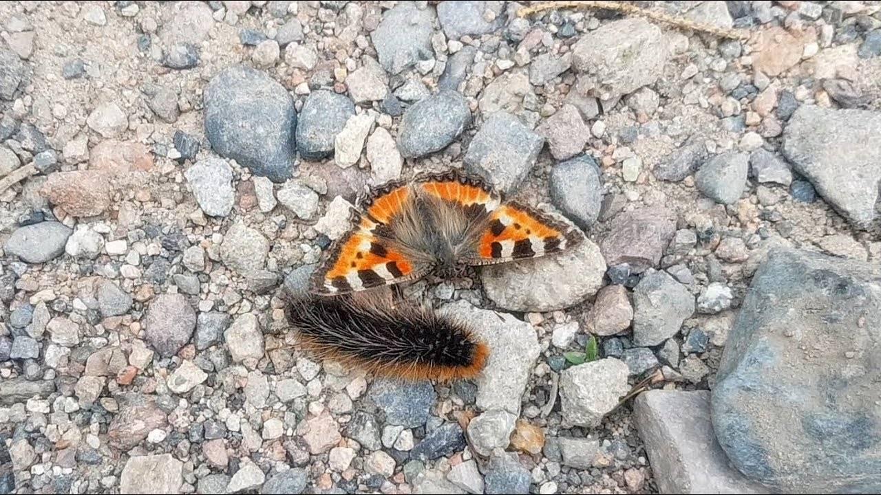 Бабочка адмирал: описание, вешний вид, характеристика вида