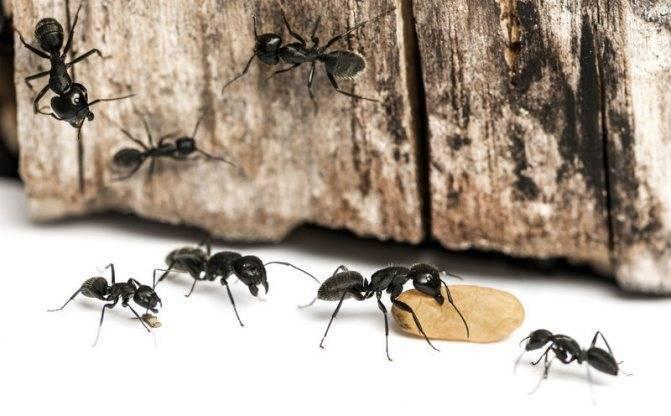 Как избавиться от муравьёв: эффективные рецепты на основе борной кислоты