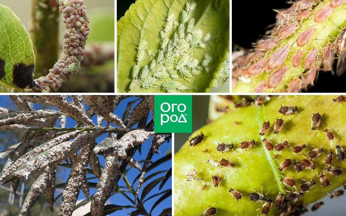 Рецепты от вредителей и болезней сада из подручных средств