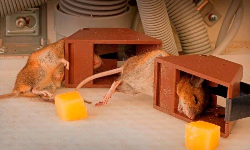 Как поймать крысу в домашних условиях