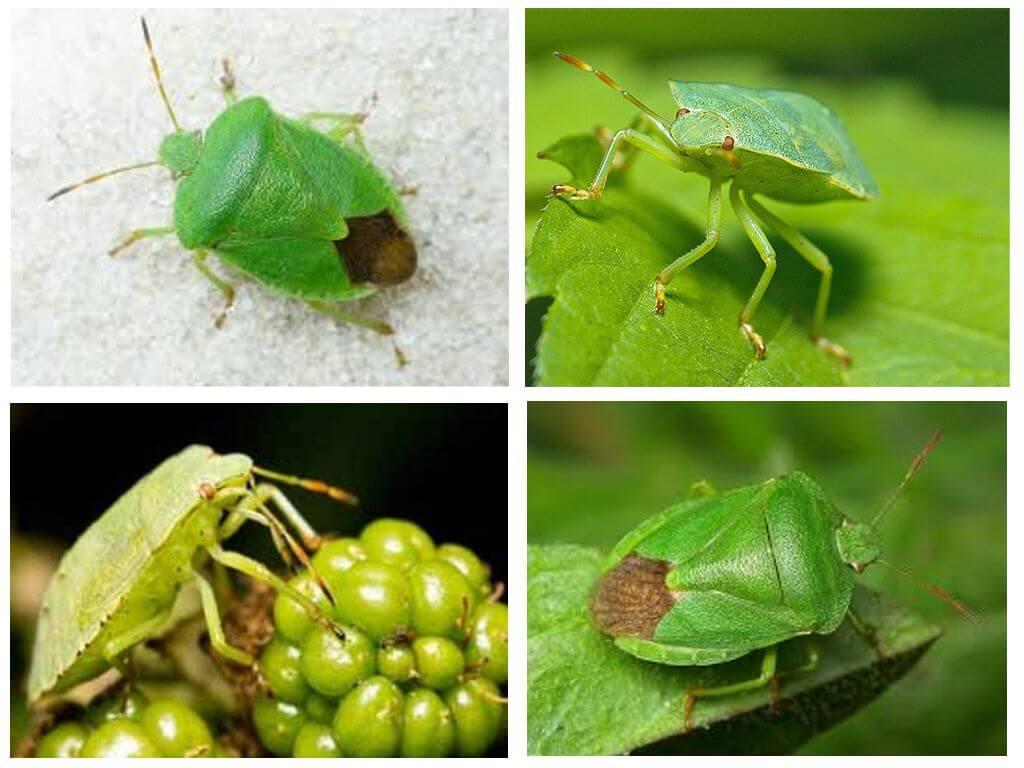 Уличные клопы — лесной, зеленый, древесный, ягодный: описание видов с фото, чем вредны и как от них избавиться