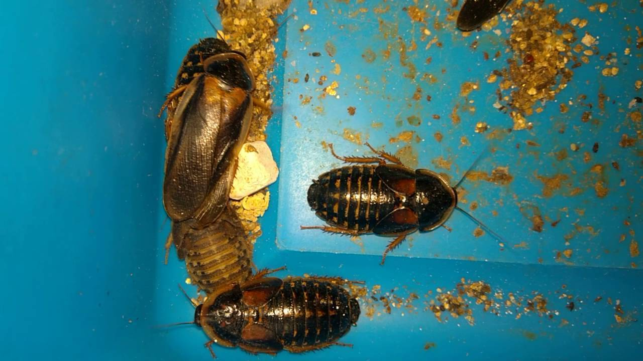 Аргентинский таракан: неприхотливый питомец или полезный корм?