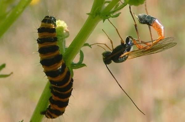 Описание и фото жука наездника