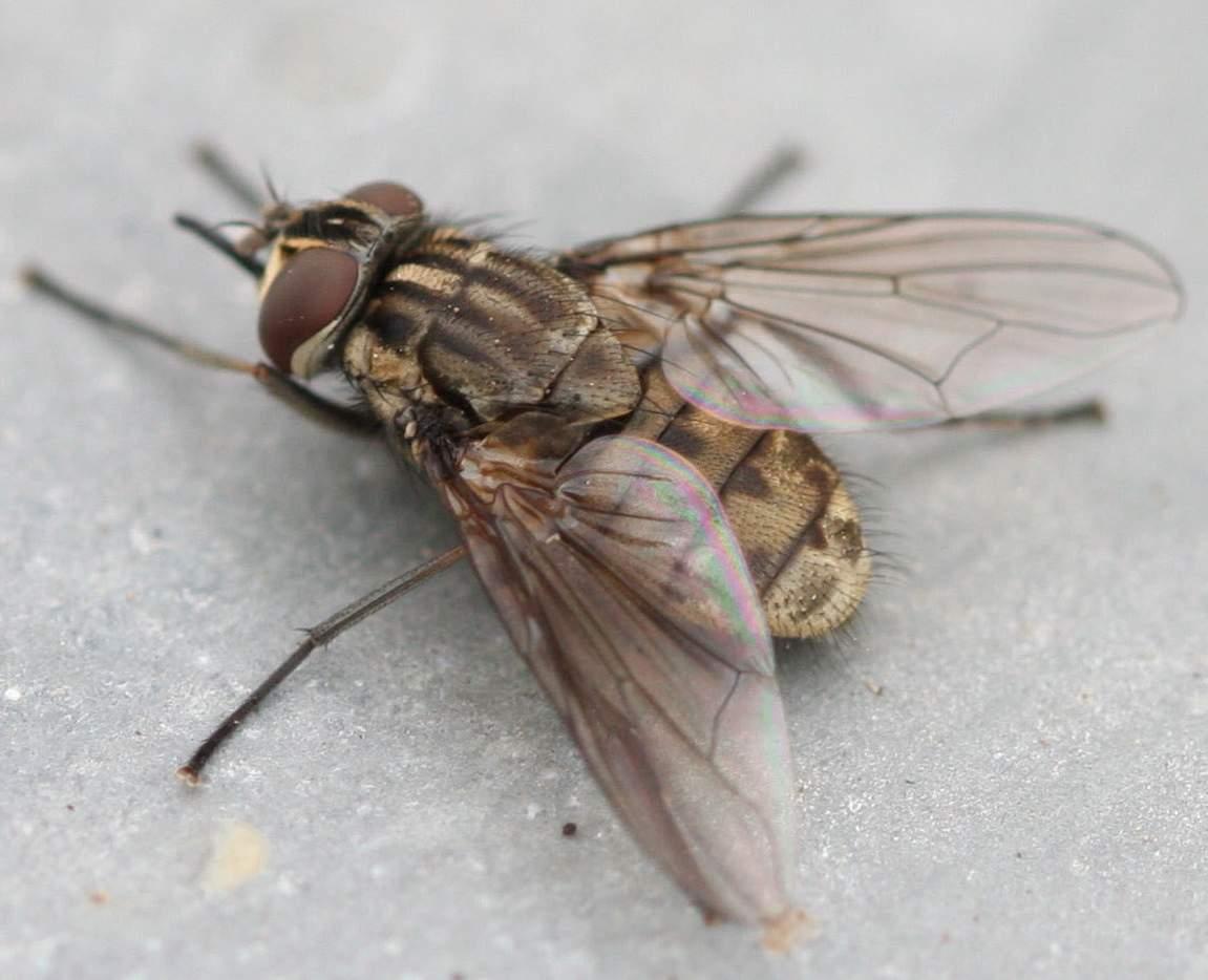 Осенняя муха жигалка: особенности надоедливого насекомого