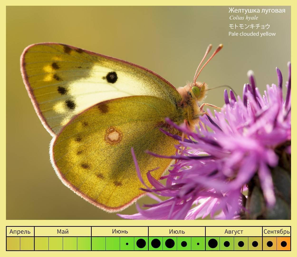 Золотистая желтушка. бабочка желтушка — описание, среда обитания, виды образ жизни
