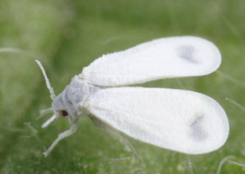 Как избавиться от белокрылки в огороде и можно ли навсегда распрощаться с вредителем