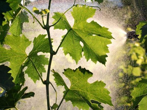 Как бороться с клещом на винограде