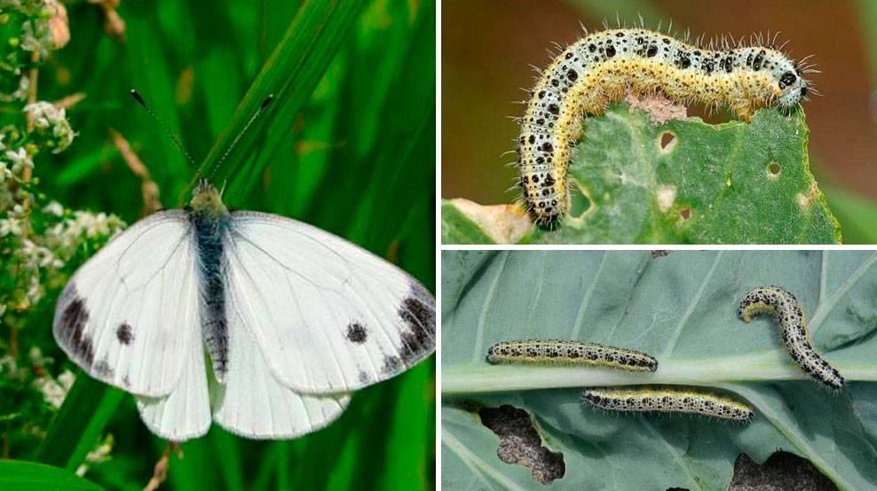 Описание, название и фото различных видов гусениц