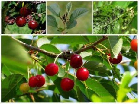 Яблоню погрызли мыши – что делать для спасения дерева