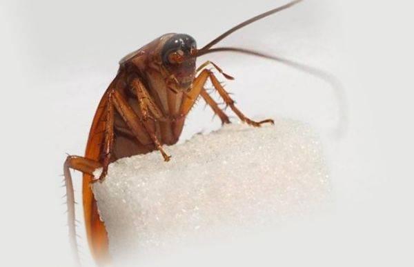 Американсканский таракан: жизнь в природе и разведение