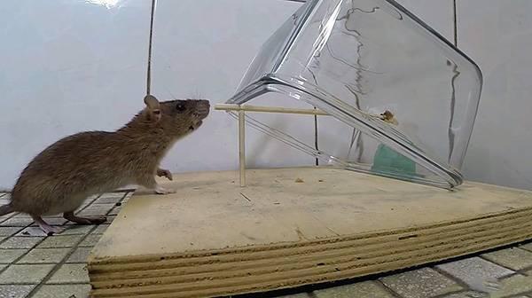 Разновидности ловушек для крыс