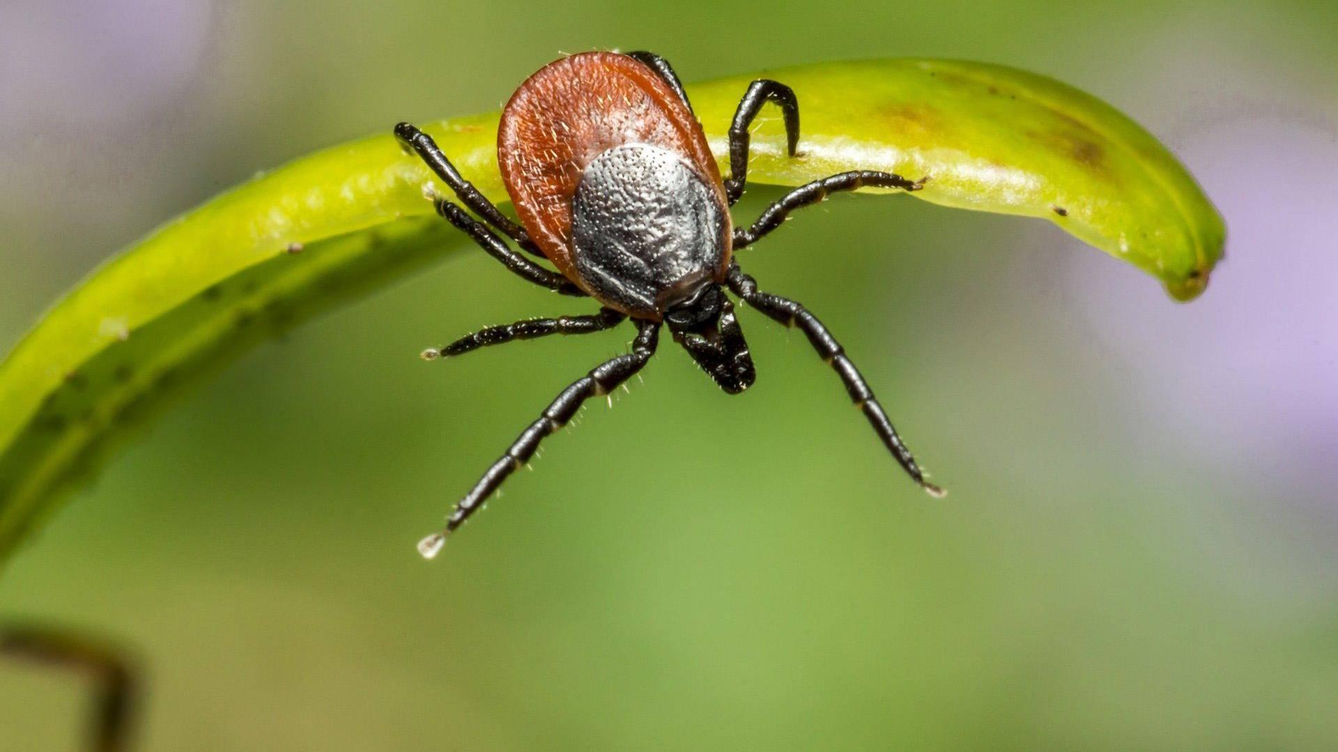 Какие болезни переносят клещи человеку: опасные инфекции