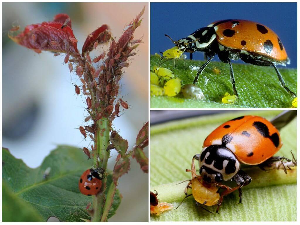 Симбиоз или дружба муравьев и тли