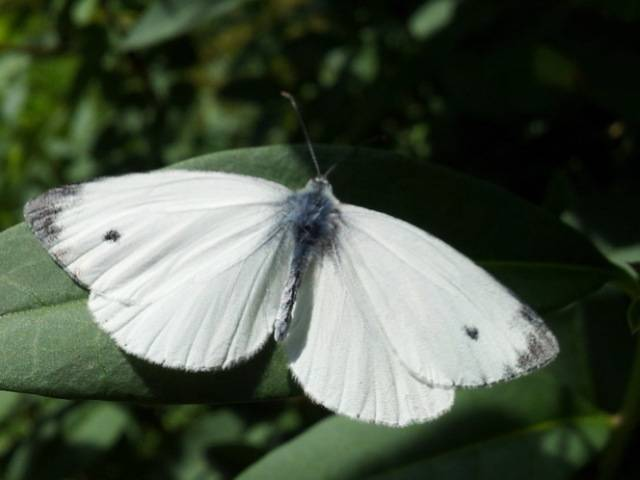 Бабочка капустница: как избавиться от вредителя на огороде