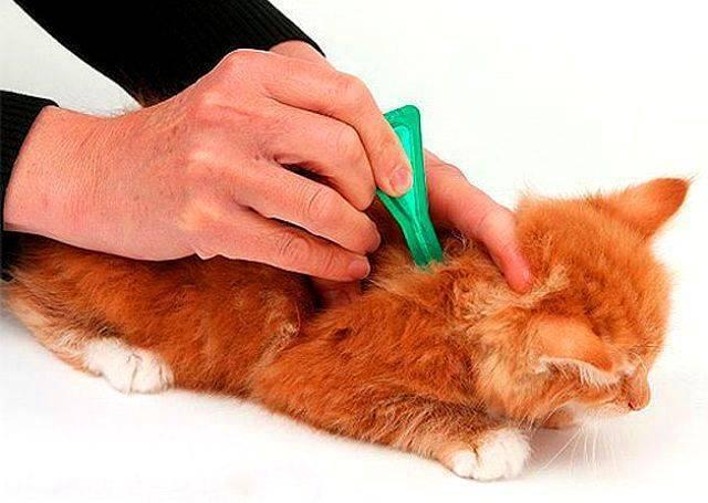 Как избавиться от блох у котенка: лечение и профилактика
