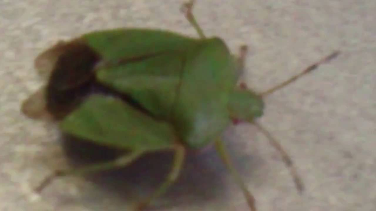 Зеленый клоп: внешний вид, степень опасности для человека