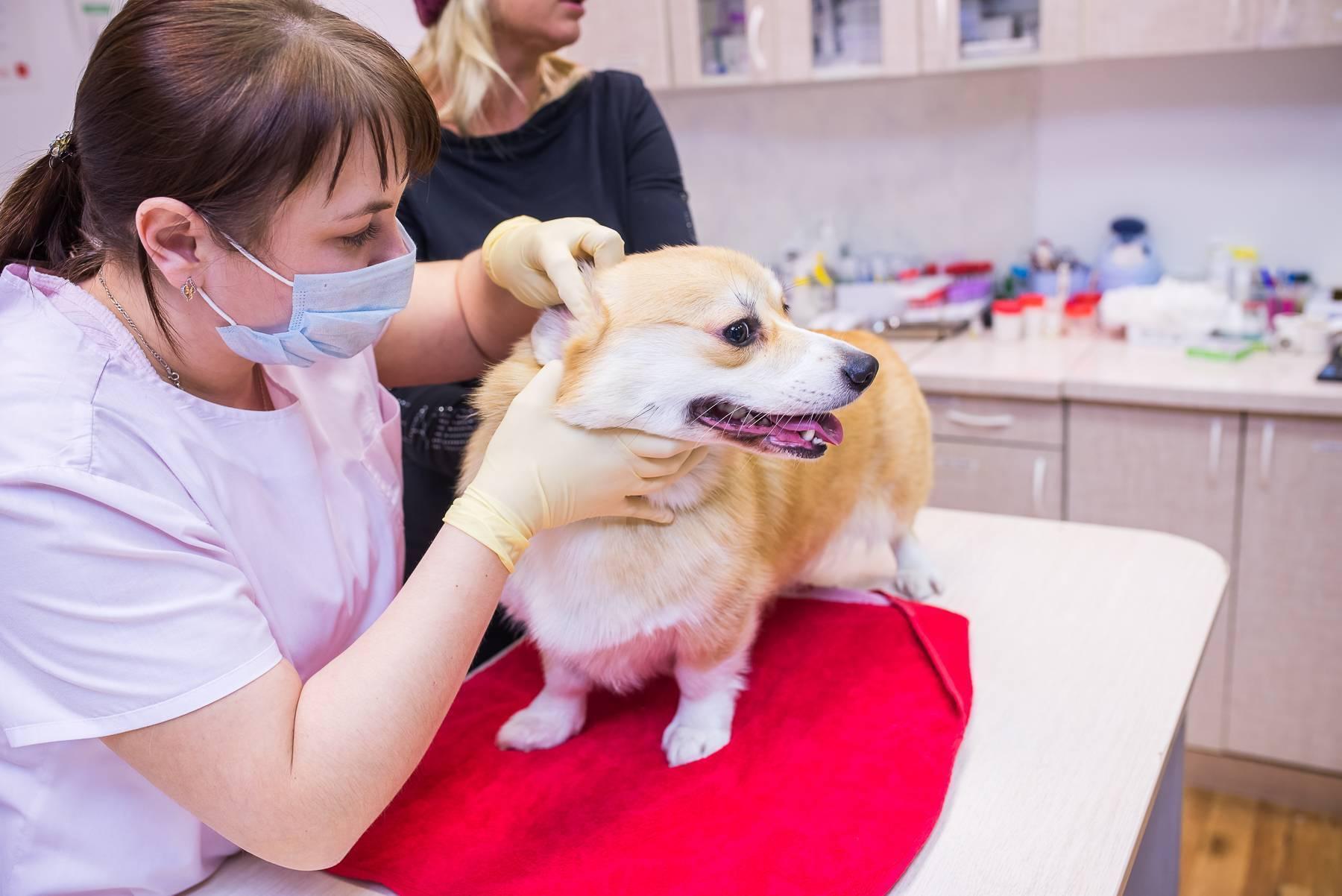 Как правильно извлечь клеща у собаки