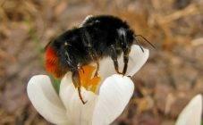 Чем отличаются пчела, шмель, оса и шершень, и кто из них опаснее