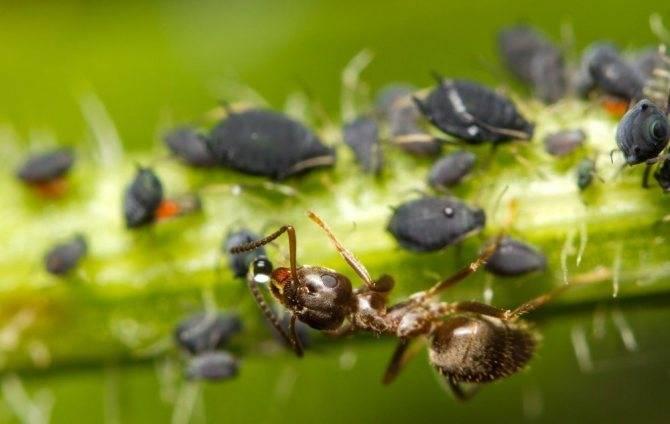 Как избавиться от муравьёв: эффективные способы избавления навсегда
