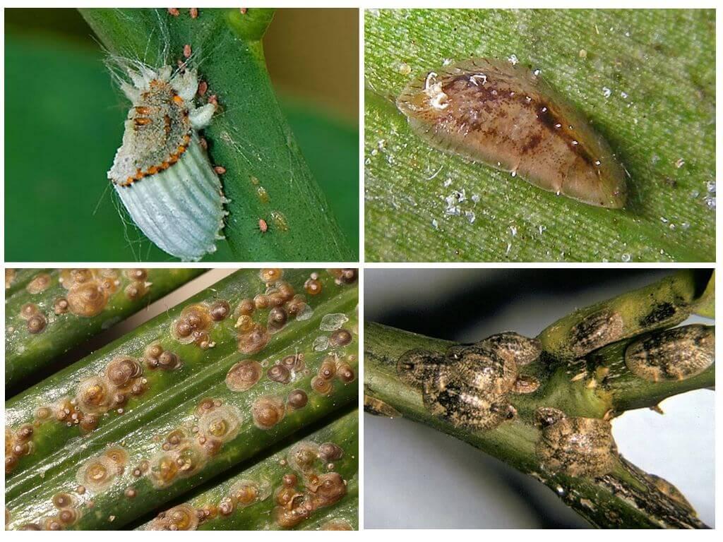 Изучаем фото и описание болезней и вредителей жимолости