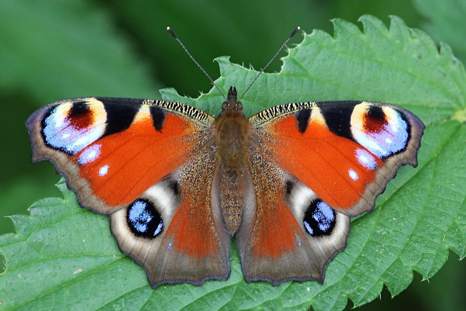 Все стадии развития бабочки крапивницы