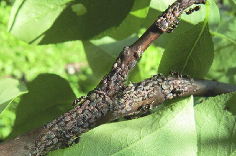 Чем обработать грушу от муравьев и тли?