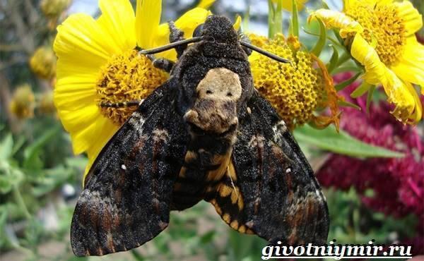 Бражник тополевый – ночная бабочка, которая не ест