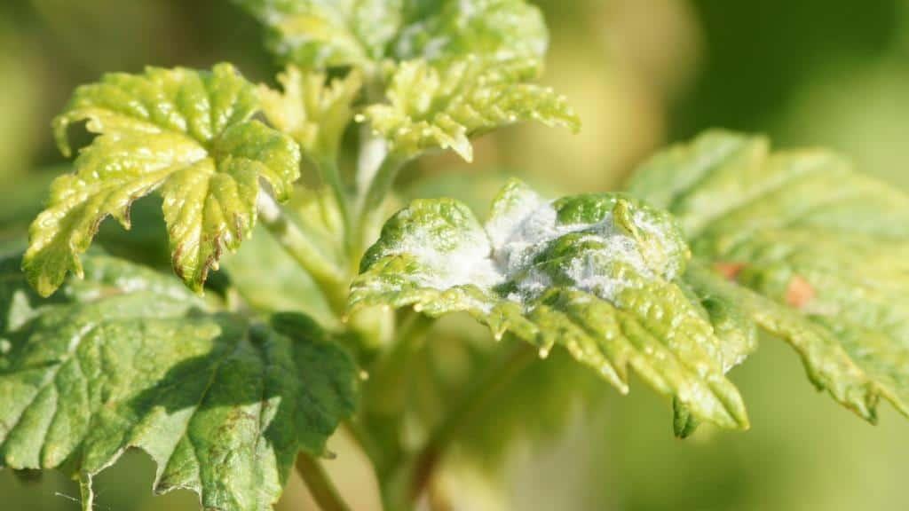 Паутинный и почковой клещи на смородине – меры защиты