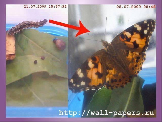 Бабочка пеструшка таволговая – контраст черного и белого