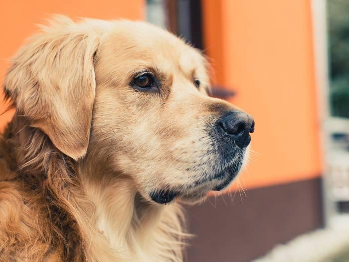 Как вытащить у собаки клеща в домашних условиях. клещ у собаки - что делать, видео