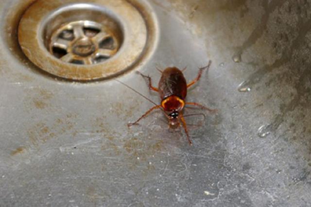 Как правильно травить тараканов борной кислотой?