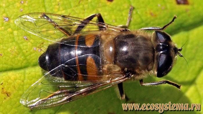 Муха – описание, виды, где обитает, чем питается, фото. полосатая муха, похожая на осу мухи похожие на ос и пчел