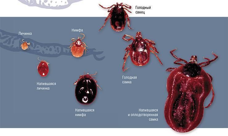 Чем опасен таёжный клещ и как защититься от паразита