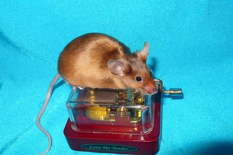 Продолжительность жизни мышей